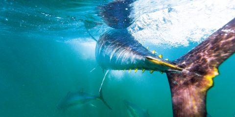 Thunfisch im Meer